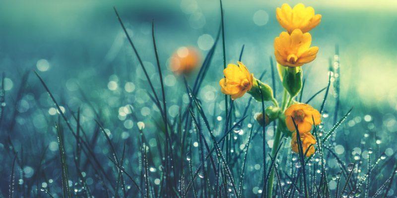 A yellow flower in wet grass