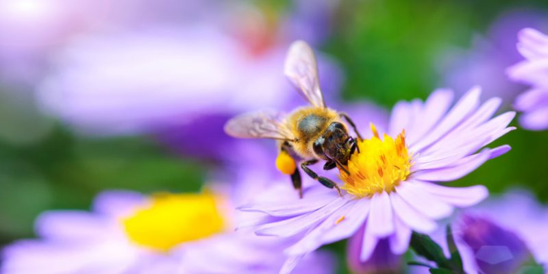 bee on flower natural allergy relief