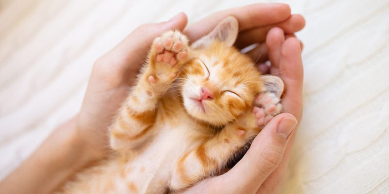 Kitten sleeping in hands, relaxed from benefits of Reiki