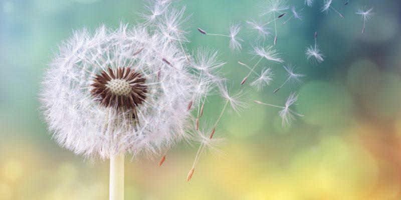 blwoing dandelion