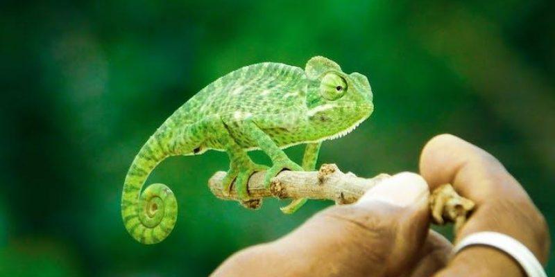little chameleon on stick