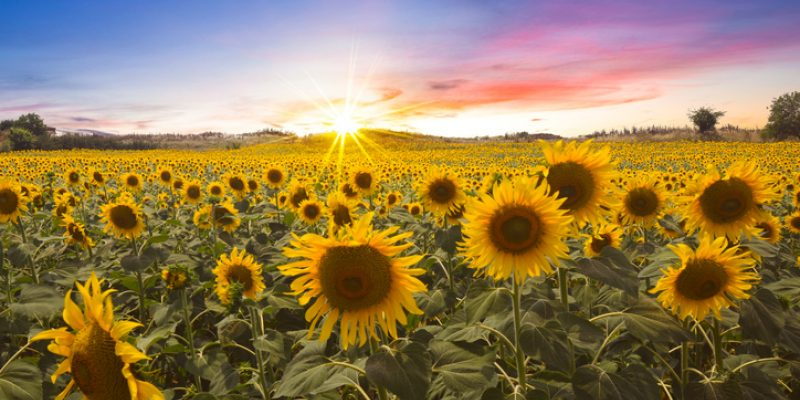 Field of sunflowers in the sunshine
