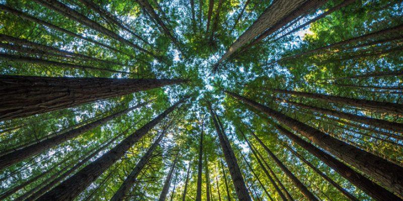 tall redwood trees with sky peeking through for tree meditation