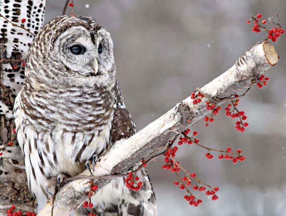 Barred owl, a mystical messenger, on a branch in Winter.