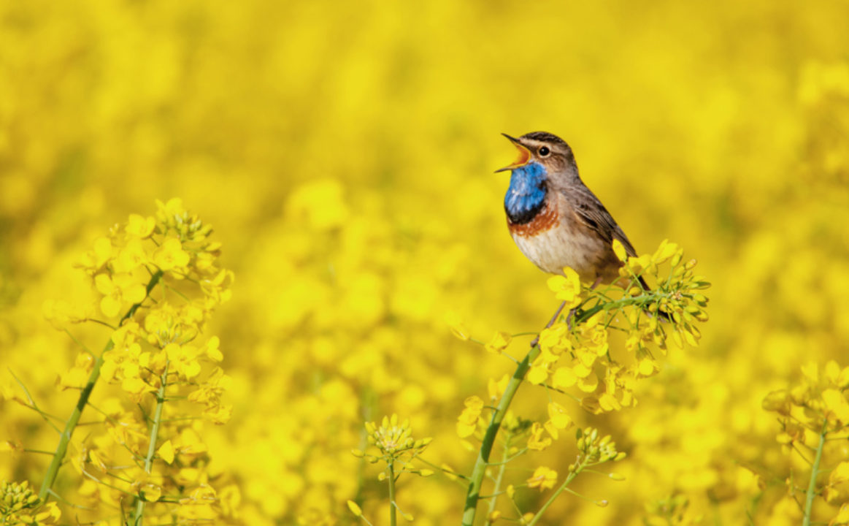 Bluethroat singing in a field