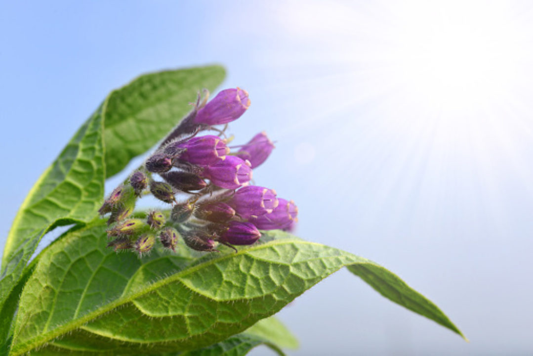 Comfrey plant with purple flowers stretching toward the sun
