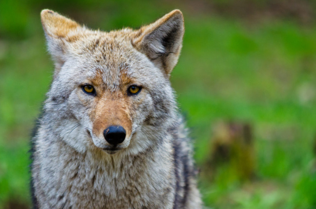 A coyote looking at the camera