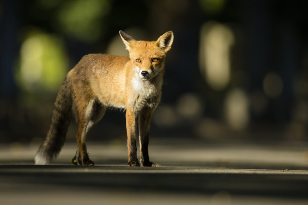 fox standing alone in the road
