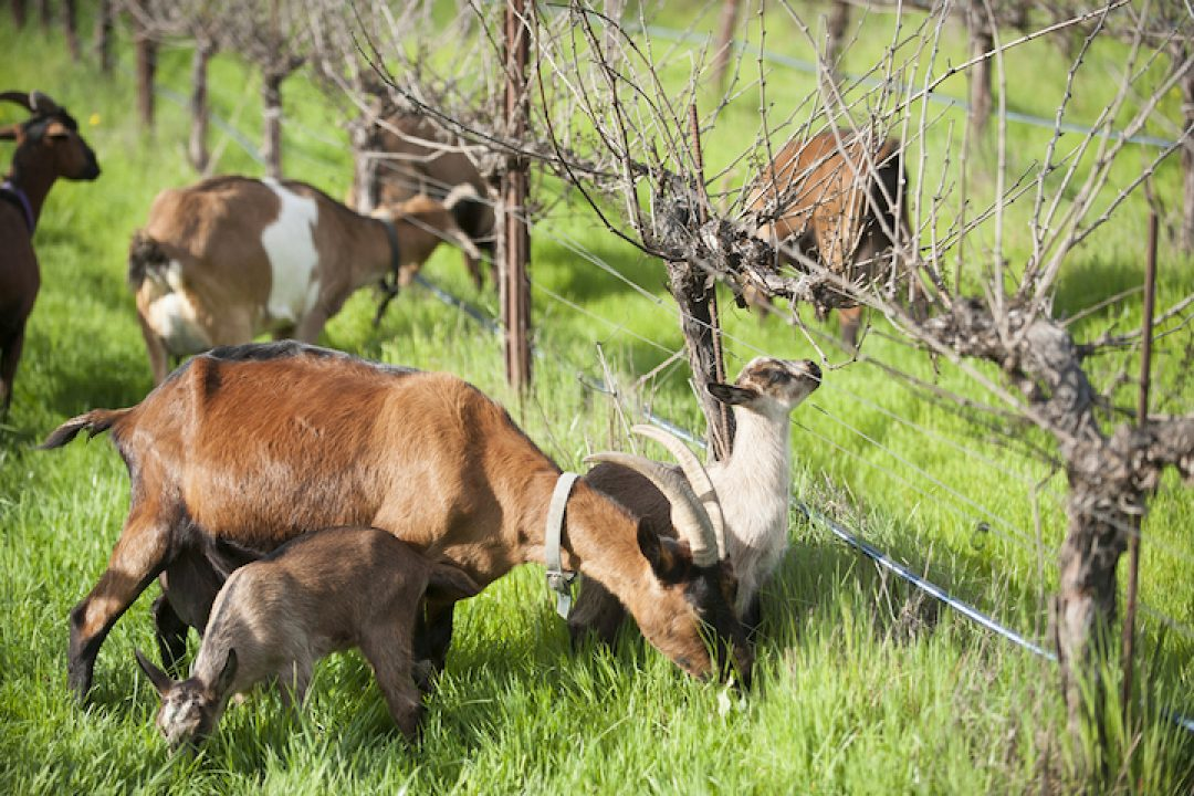 Frey Vineyards goats grazing