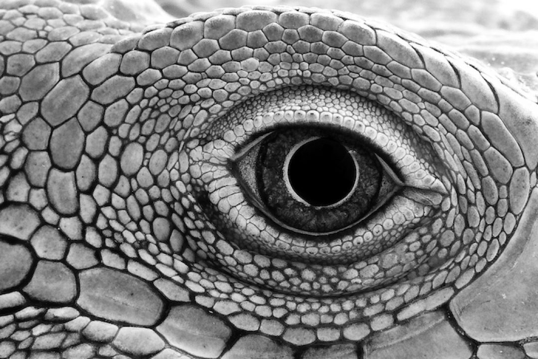 close up of iguana lizard eye godzilla power animal