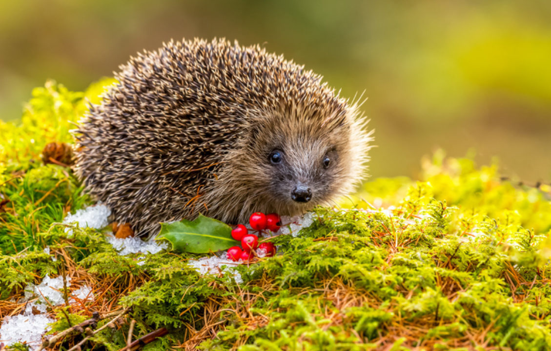 A hedgehog in a sustainable garden