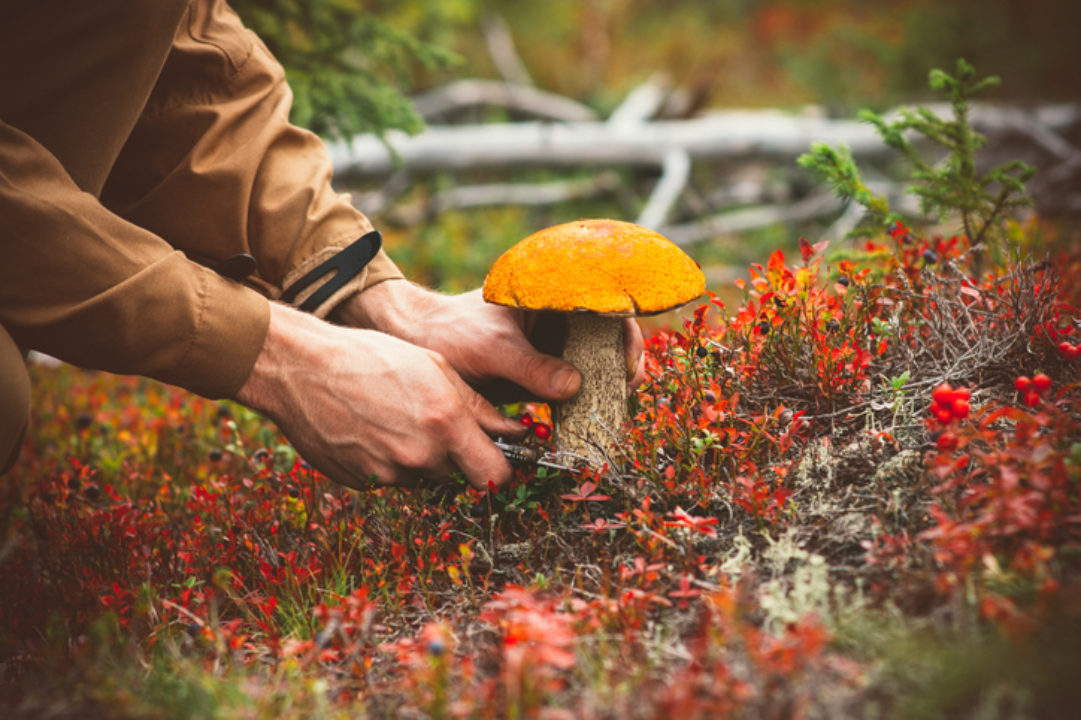 A man picks a mushroom in the wild