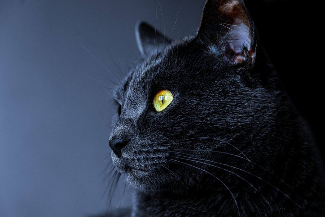 Black cat for Halloween and spirituality of black cats