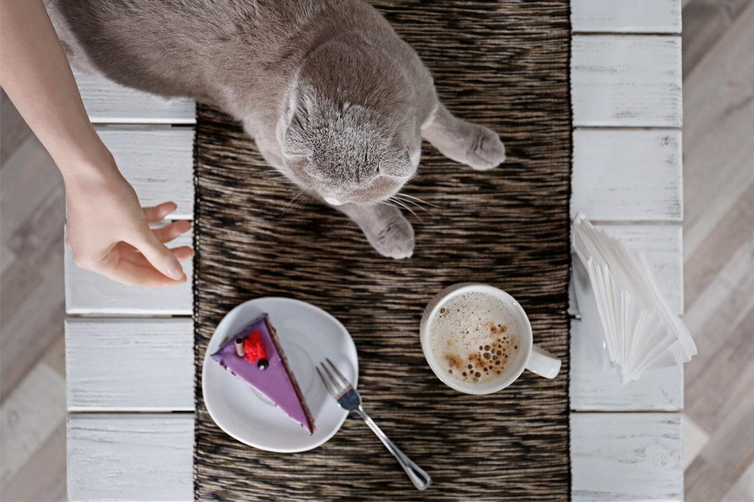 A gray cat eyes some human foods.