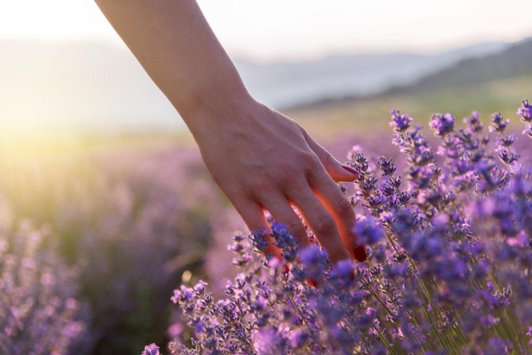 Touching Lavender