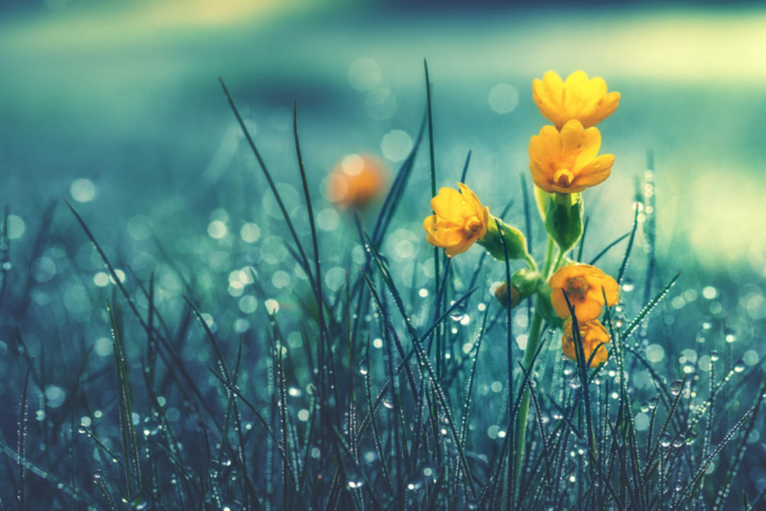 A yellow flower in wet grass