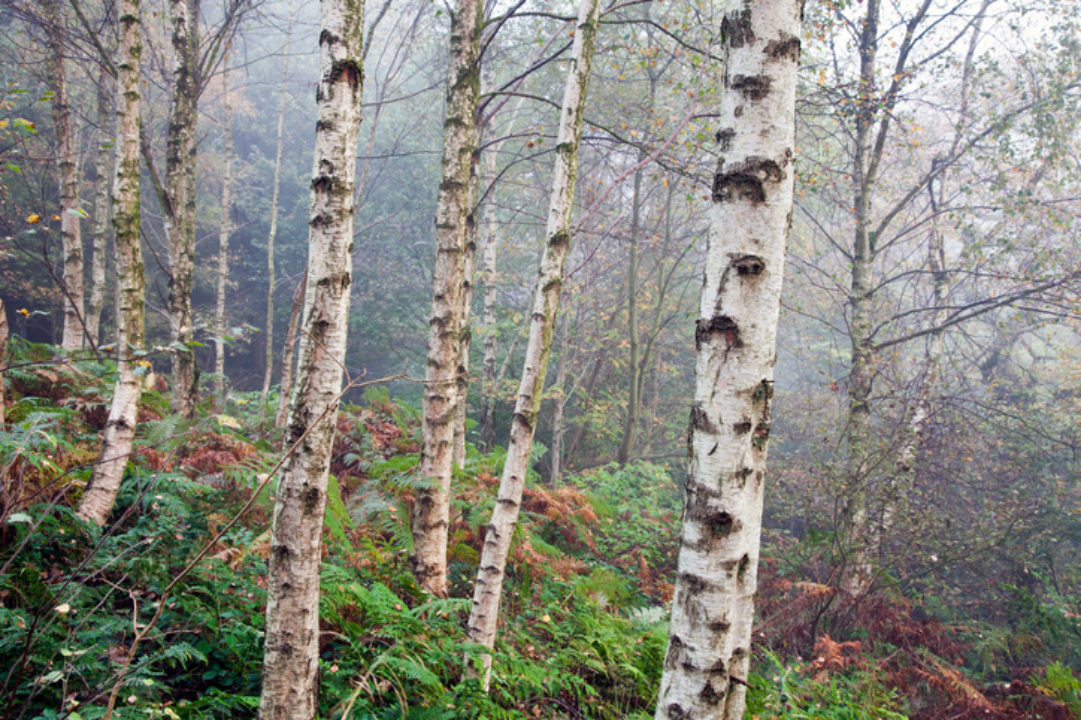 Birch trees in a misty forest