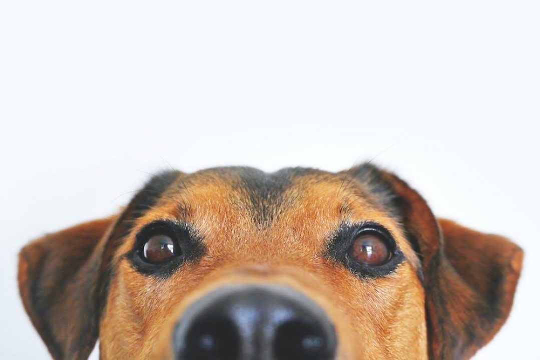 close up of dogs eyes and nose