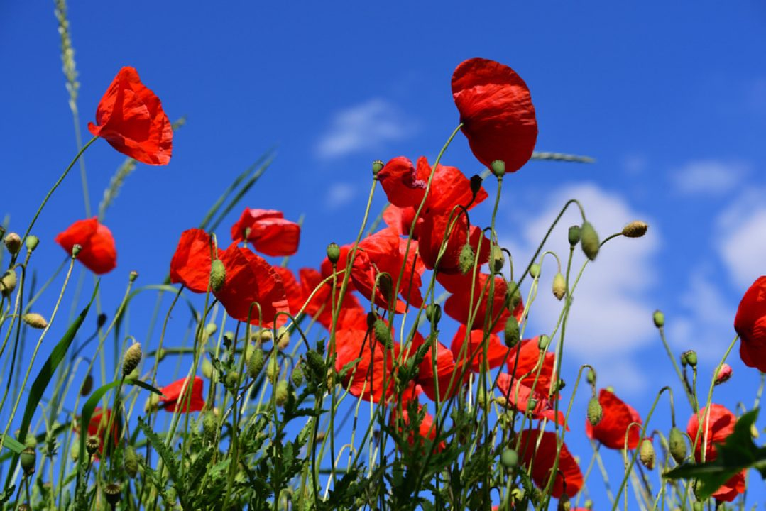 red flowers in a blue sky blooming