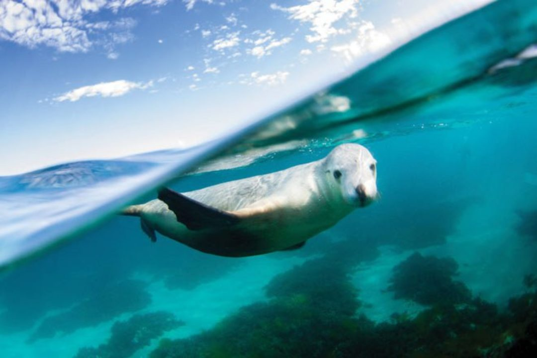 seal lions in australia
