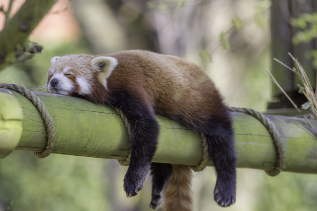 Sleeping Red Panda: animal sleep science to help us sleep better