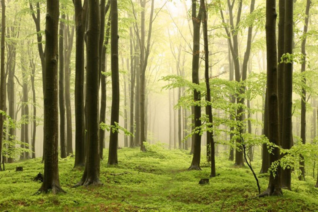 Spring forest of beech trees