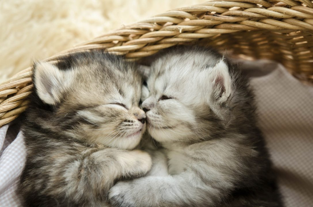 kittens sleeping in basket pets help touch deprivation