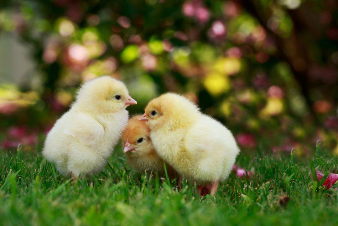 three baby chickens rethink eggs
