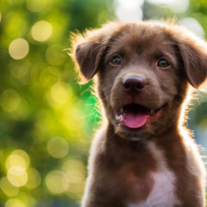 Adorable brown puppy with sunset bokeh background