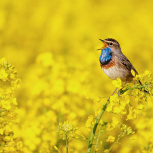 Bluethroat singing in a field