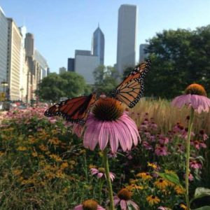 Monarch butterfly on Purple Coneflower in patch of wildflowers along Chicago's Michigan Avenue