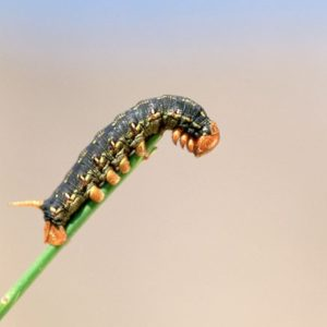 Caterpillar on edge of plant