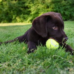 Cute labrador puppy dog lying down in green grass field playing with yellow tennis ball
