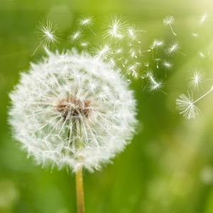 Dandelion with seeds flying off