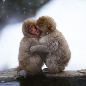 Two snow monkeys cuddling
