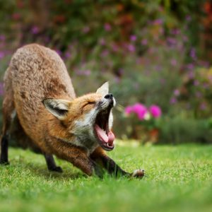 A silver fox stretching and yawning on the grass