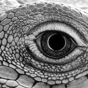 close up of iguana lizard eye godzilla power animal