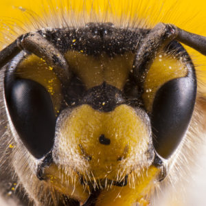 Face of a honeybee close up