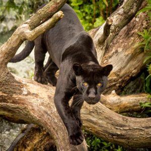 Black jaguar in tree