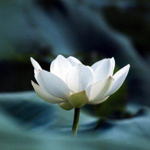 Blooming white lotus flower