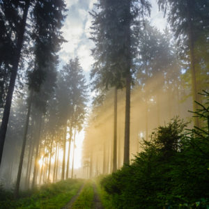 Sun streaming through a spruce forest blanketed in fog