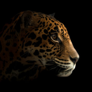 jaguar at night