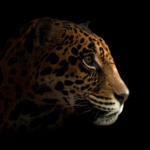 jaguar at night