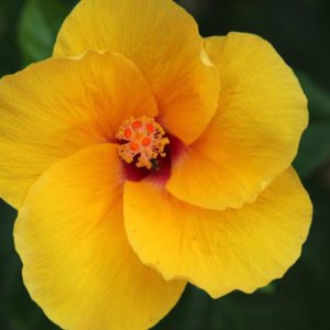 Bright yellow tropical flower