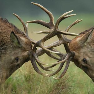 Two large reindeer butting heads
