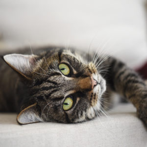 a divine feline tabby cat relaxed on the sofa looks at the camera