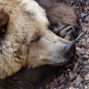 sleeping bear in hibernation for sabbath practices