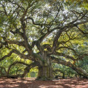 oak tree the oak papers james canton