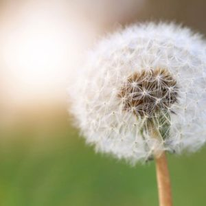 dandelion and sunlight