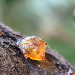 Sap dripping from tree